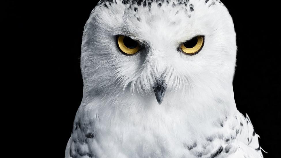 Navn:      Snowy_Owl_03_black_01.jpg Visninger: 350 Størrelse: 48.5 Kb